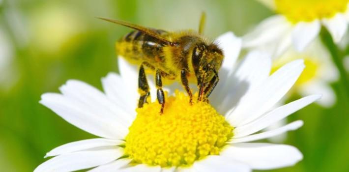 cafeína activa la memoria de las abejas